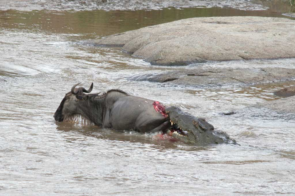 [Image: Crocodile-and-Wildebeest-Kill.jpg]