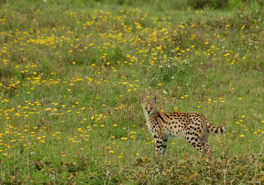 Serval in Wildflowers
