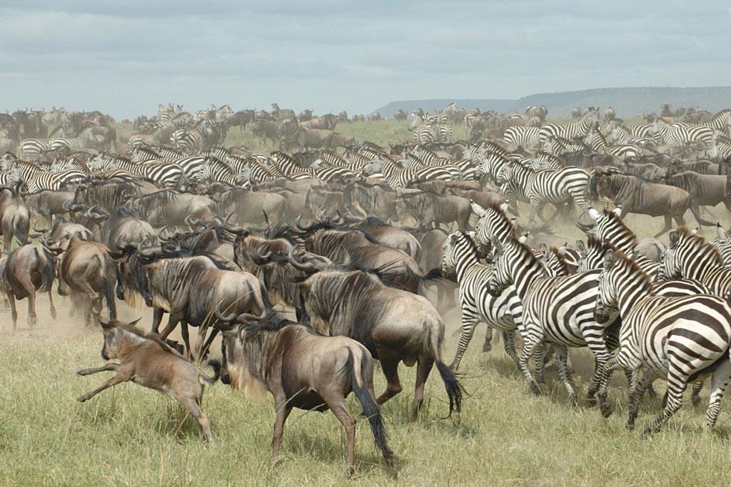 Wildebeest Migration - Seronera Valley - May 13, 2009