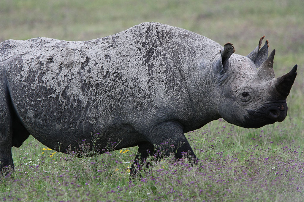 Black Rhino - Ngorongoro Crater