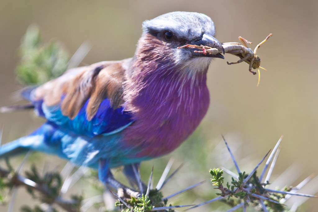 Lilac Breasted Roller - Serengeti National Park