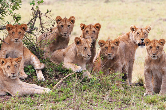 November 15th - Sametu Lion Pride - East Serengeti