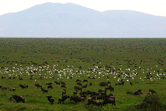 Wildebeest Migration - January 2010