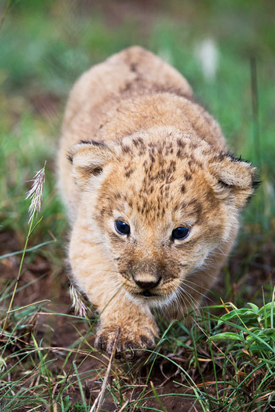 2-Week Old Lion Cub - December 2010