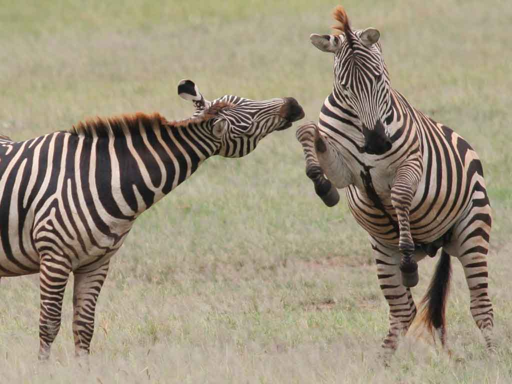 Zebras-Fighting
