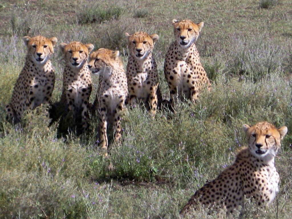 Cheetah Family Portrait