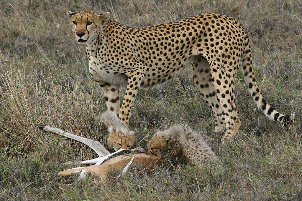 Cheetah Family and Kill