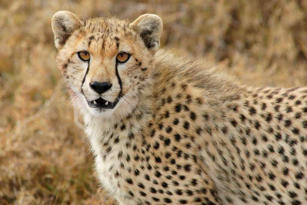 Cheetah Gaze
