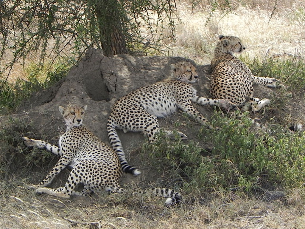 Cheetah-Trio
