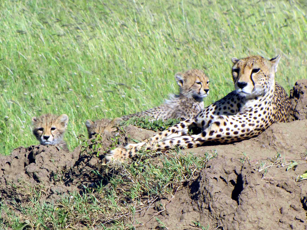 Cheetah and Three Cubs