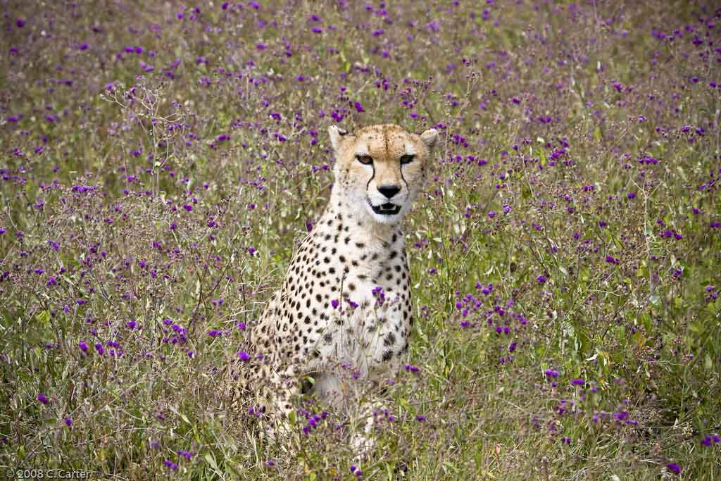 Cheetah in Wildflowers