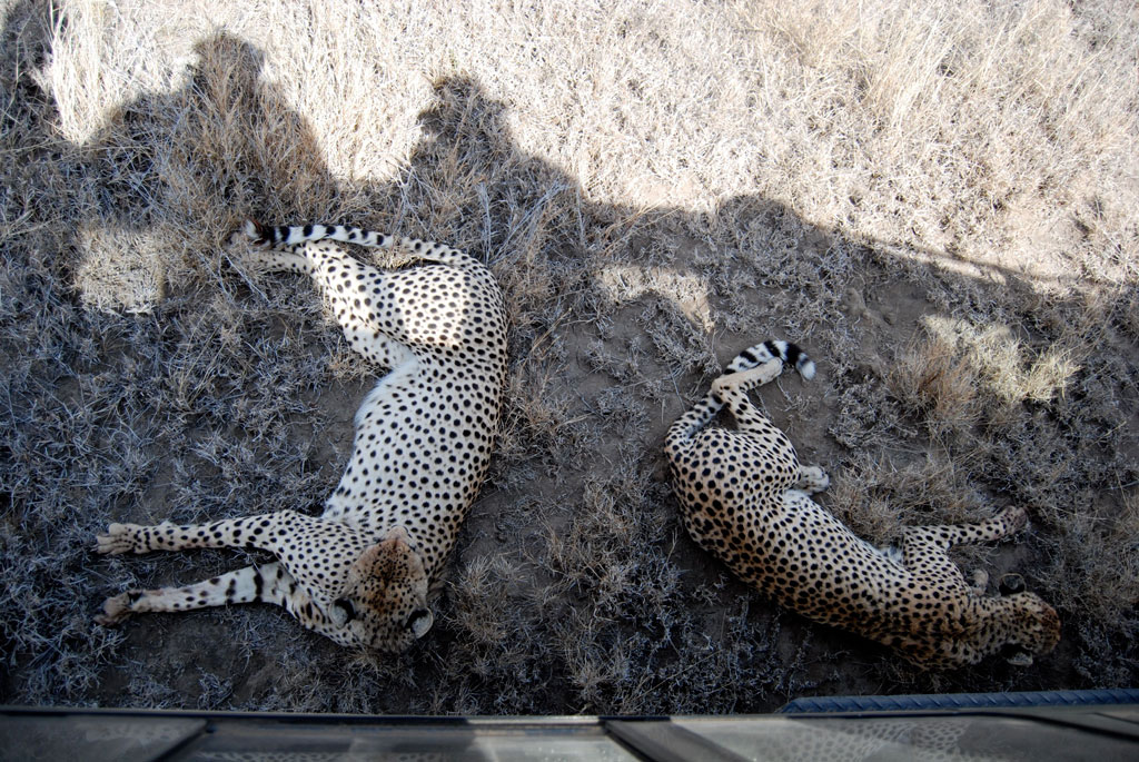 Cheetahs Rest in Shade of Land Rover