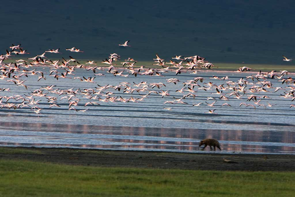 Flamingos and Hyena