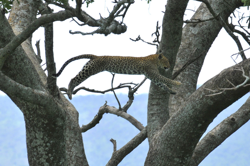 Flying Leopard