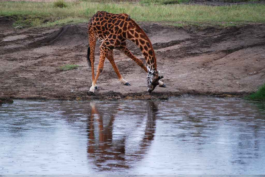 Giraffe Reflection