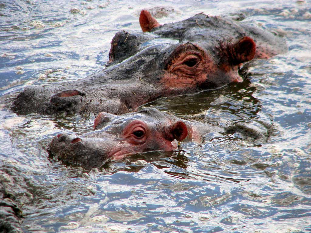 Hippo Mother and Baby