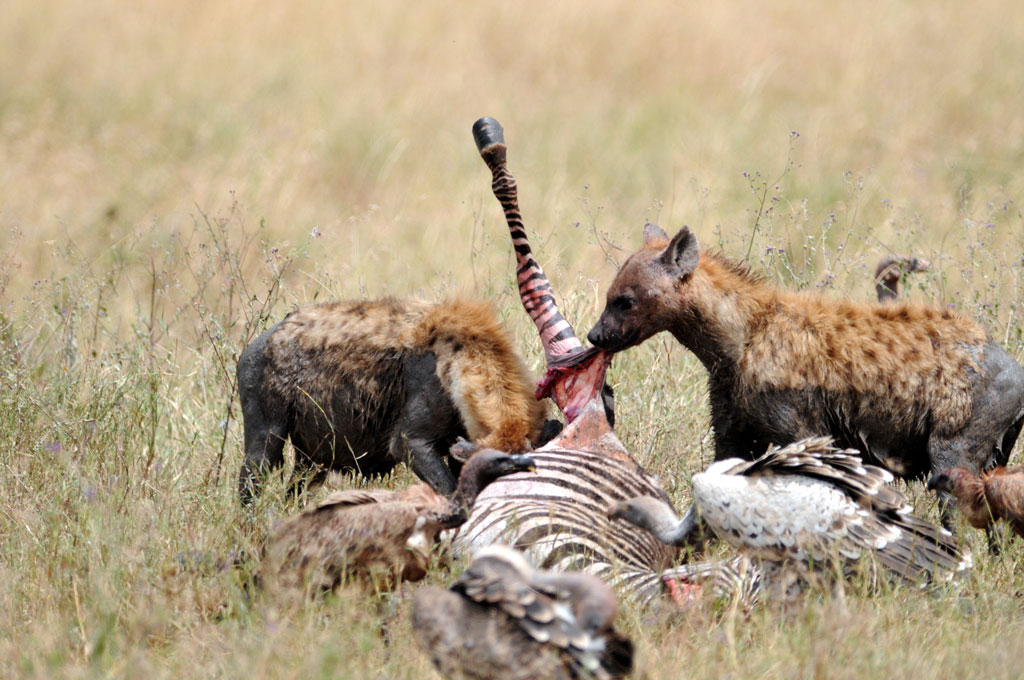 Hyena Lunch