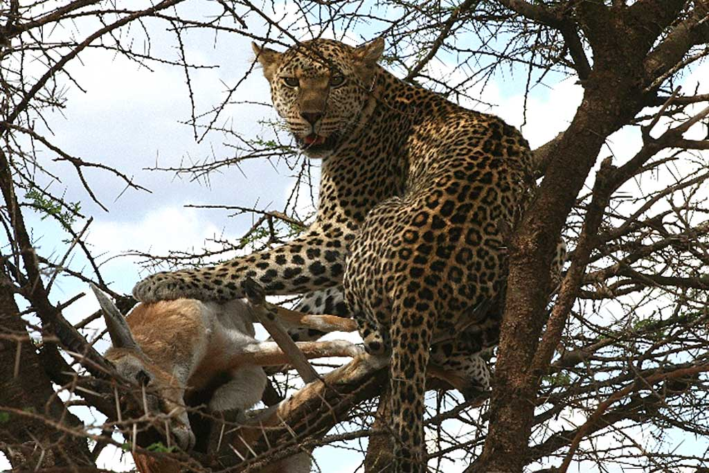 Leopard Lunch