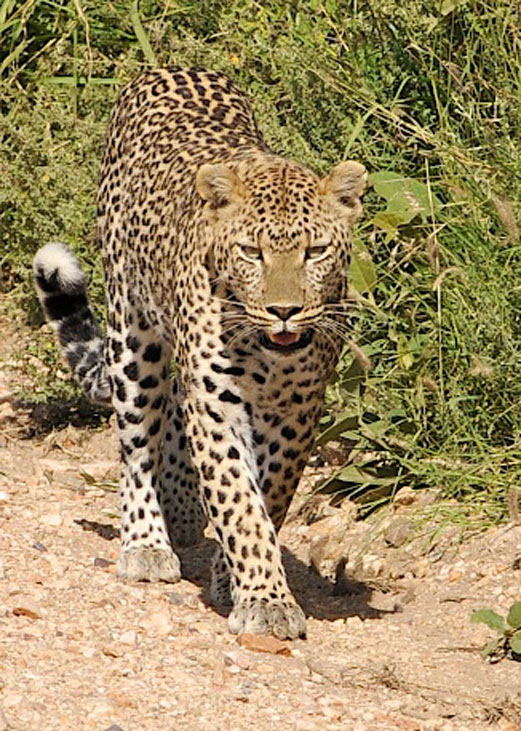 Leopard-Walking---Next-to-Vehicle!