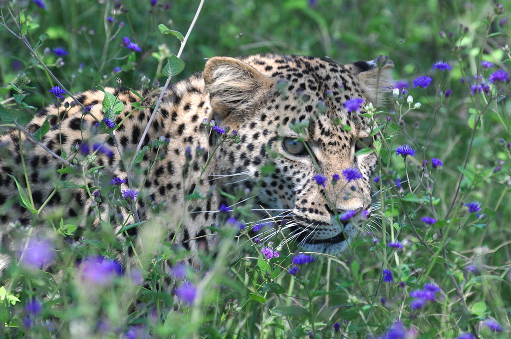 Leopard in Purple Flowers