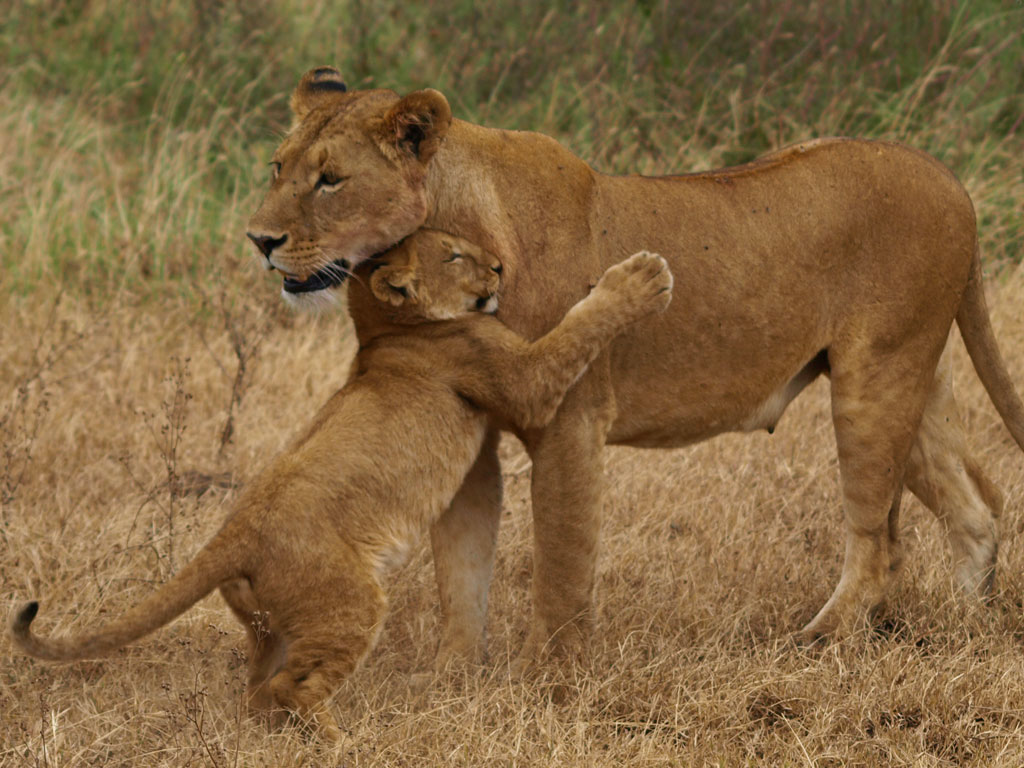 Lion Mother and Cub Reunion