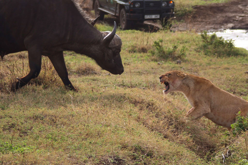 Lion and Cape Buffalo Showdown