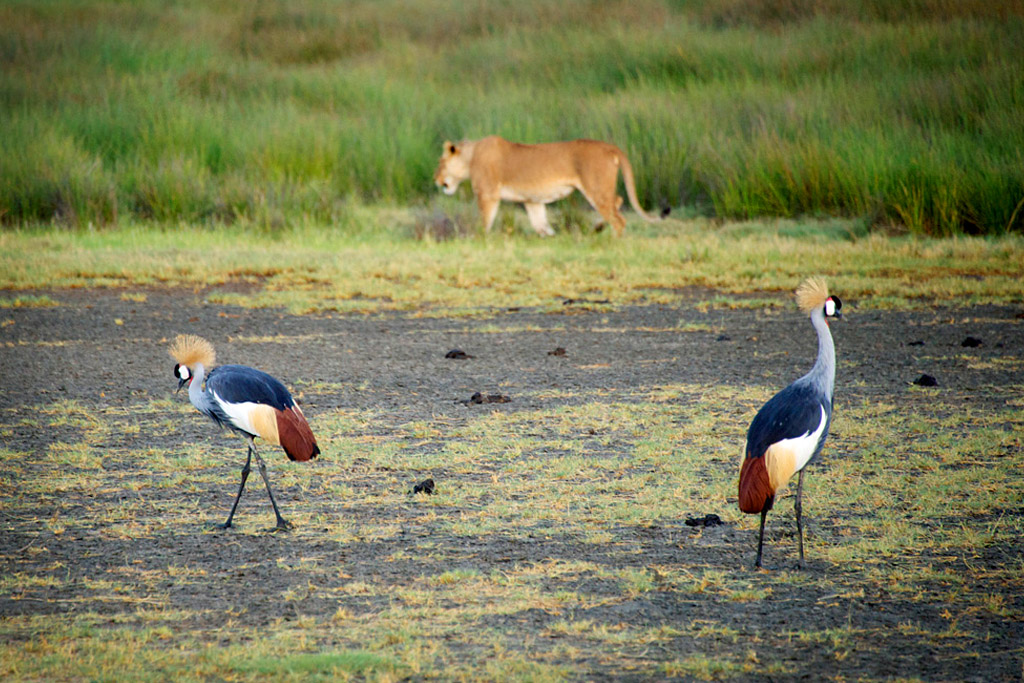 Lion and Crowned Cranes