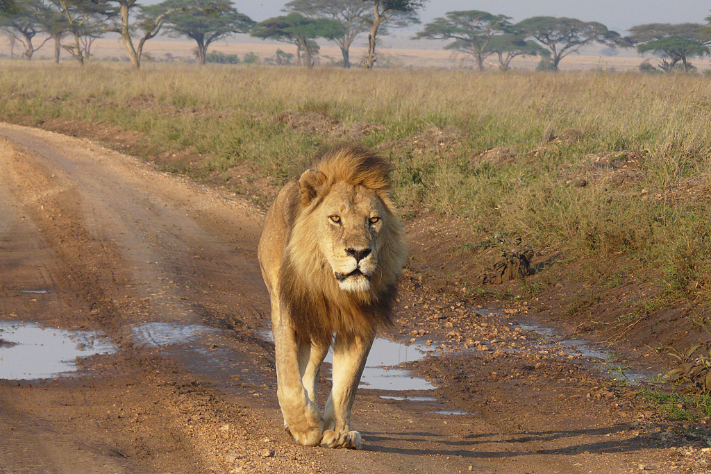 Lion in Serengeti Morning