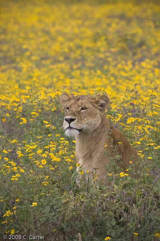 Lion in Wildflowers