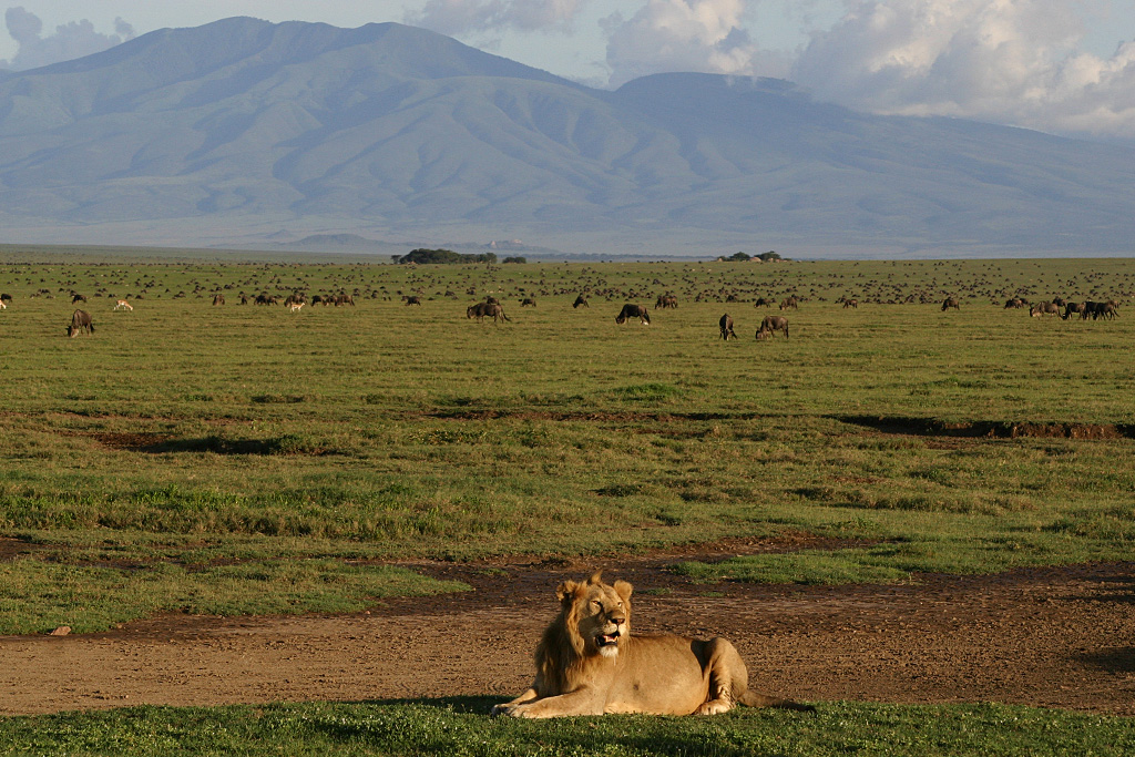 Male Lion and the Great Migration