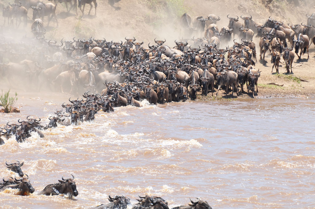 Migration Crossing Mara