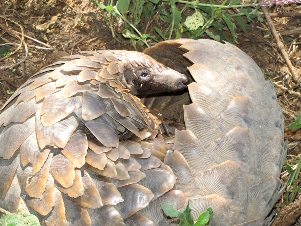 Pangolin - WOW!
