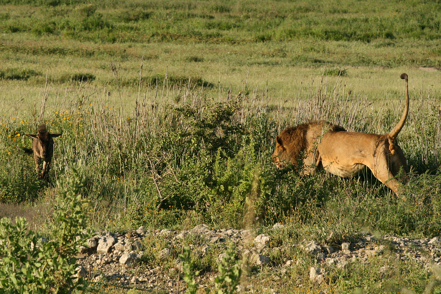 Male lion stalking prey - photo#14