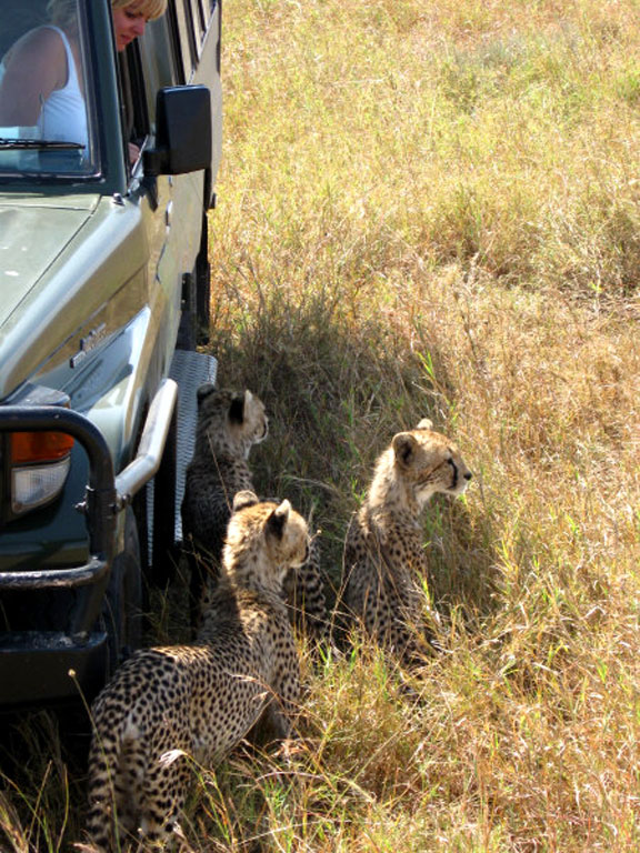 Up Close Encounter with Cheetahs