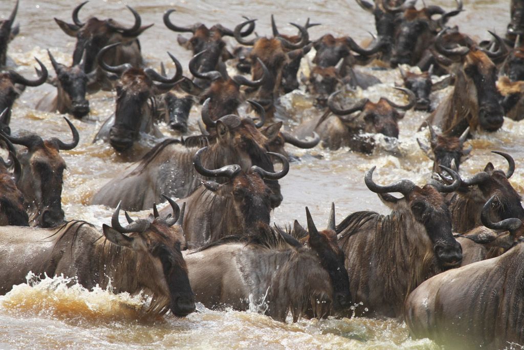 Wildebeest Crossing Mara 1