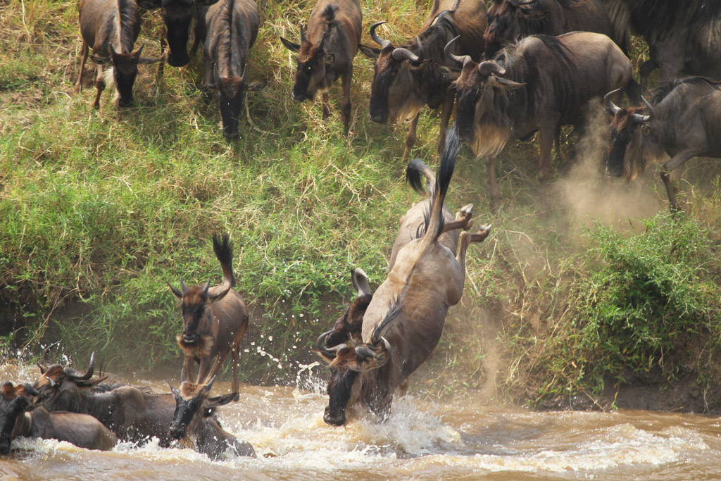 Wildebeest Crossing Mara 2