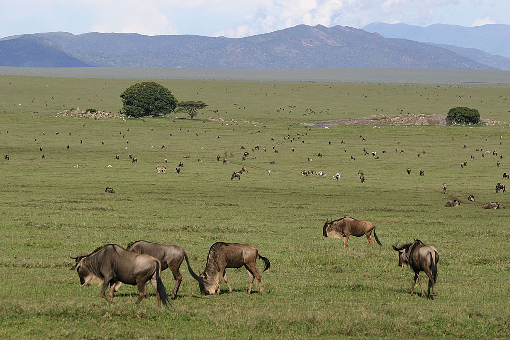 Wildebeest Migration at Gol Kopjes