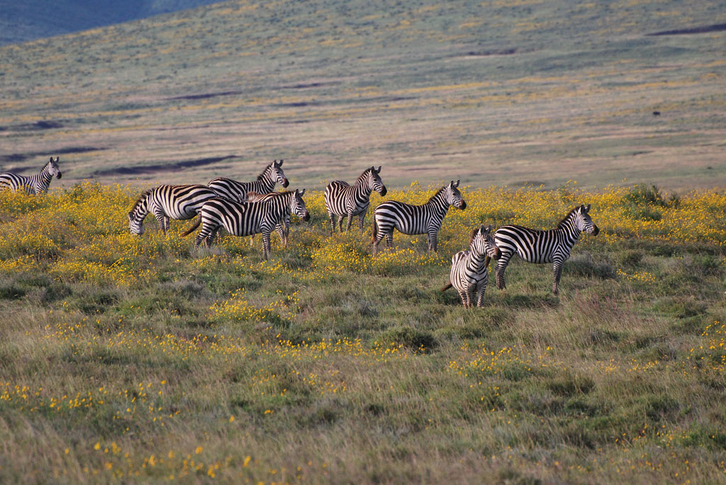 Zebra in Wildflowers
