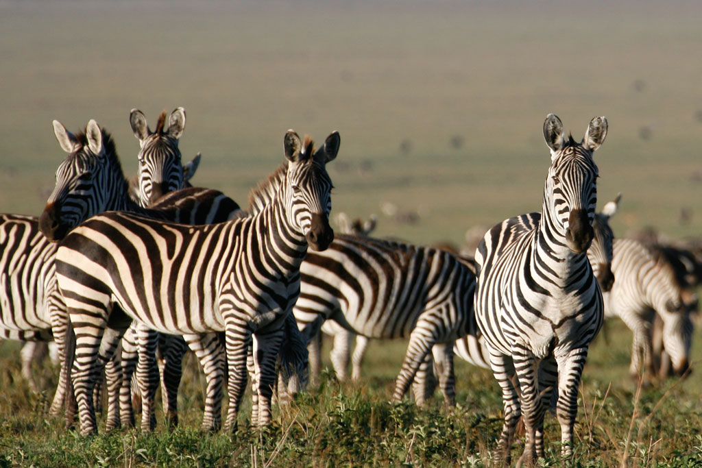 Zebras in Morning Light