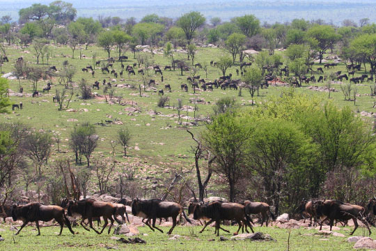 North Serengeti Wildebeest Migration October 2011