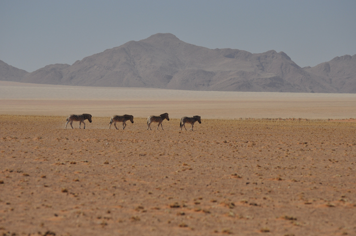 Zebras in arid sands