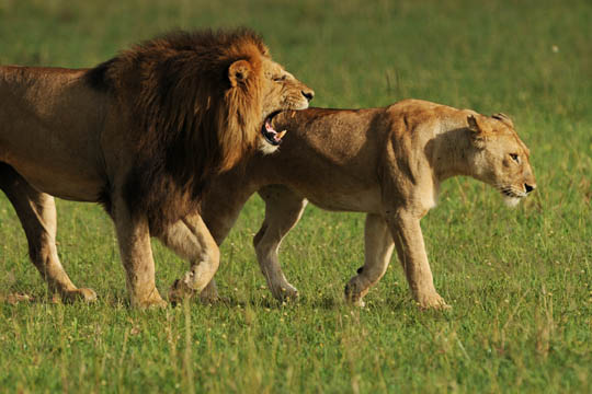 Safari Photos - Male and Female Lion