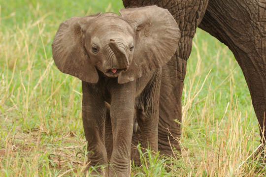 Amazing Safari Photo - Baby Elephant