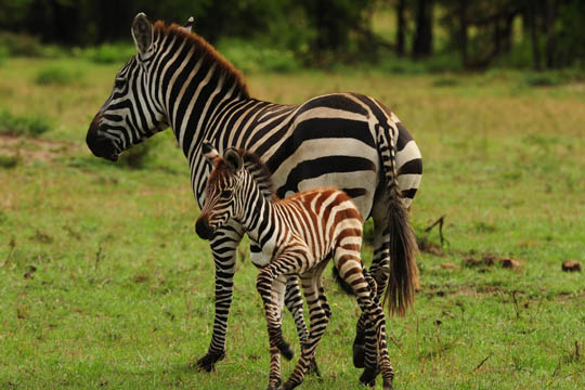 Safari Photo - Mother and Baby Zebra