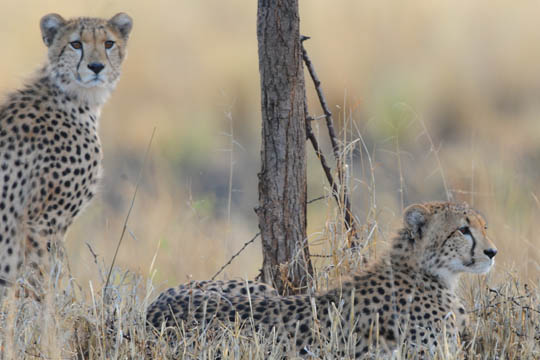 Safari Photo - Cheetah Brothers