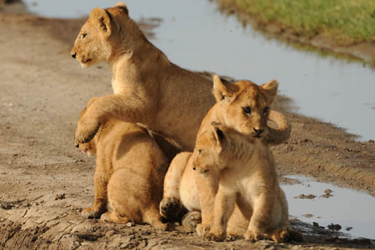 Safari Photo - Baby Lions Playing