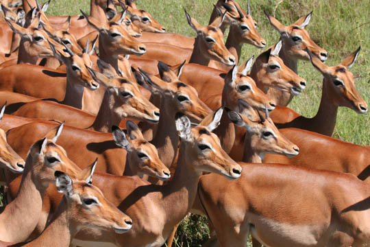 Antelopes of the Serengeti