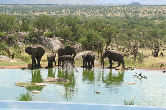 A Dozen Elephants Visited Our Lodge_2