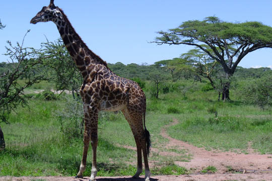 Our Serengeti Plains trip_2