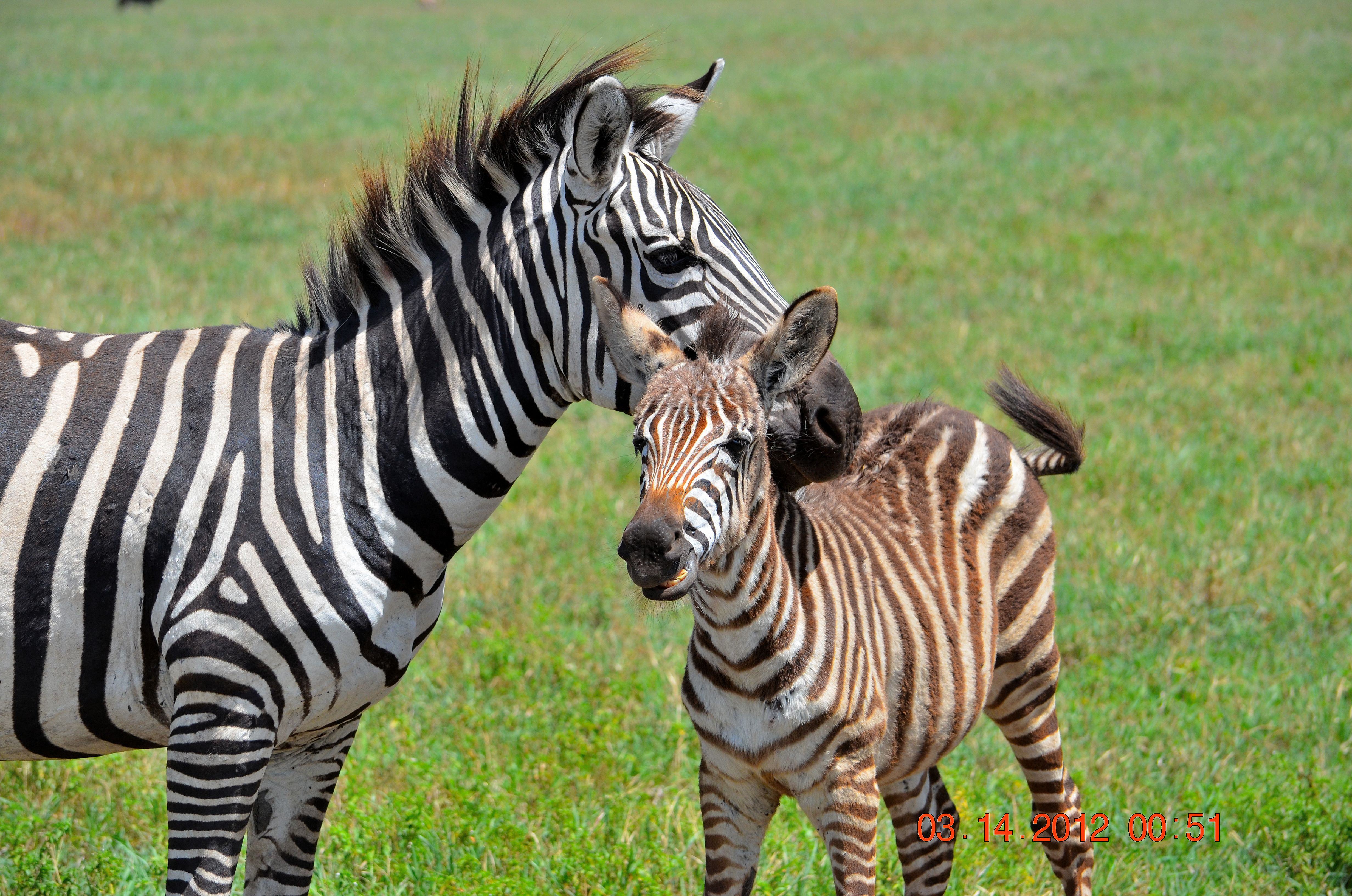 Zebra baby and mother - photo#18
